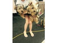 Two Yorkshire terriers for sale