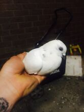 Pigeons for sale $20 each North Melbourne Melbourne City Preview