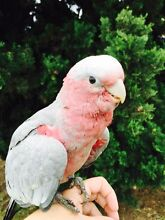 Gorgeous super friendly hand raised baby galah South Penrith Penrith Area Preview