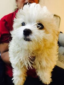 Cute Pomeranian Shih Tzu mix Puppies Looking For New Home