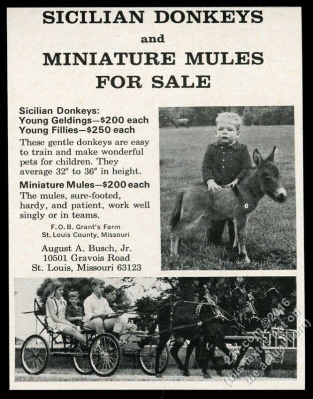 1967 Sicilian Donkey Miniature Mule photo breeder vintage print ad