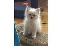 Pure ragdoll kitten's ready now