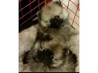 Pomeranian puppies for sale please contact us for more information