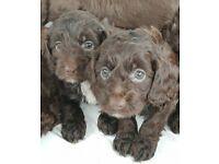 Chocolate cockapoo puppies 9 weeks old