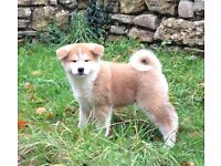 Quality Japanese Akita Inu puppies for sale
