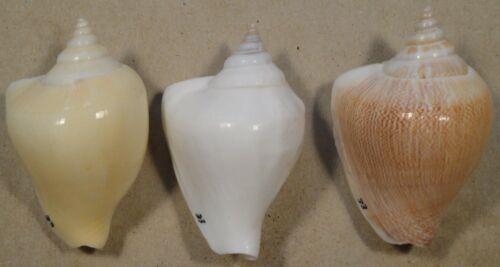Strombus Canarium 3 Shells 56,57,+58mm West Pacific