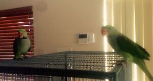 Alexandrian Parrots Butler Wanneroo Area Preview
