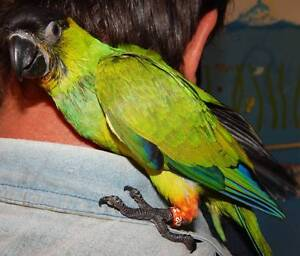 NANDAY CONURES HANDRAISED AVAILABLE DEC Tara Dalby Area Preview