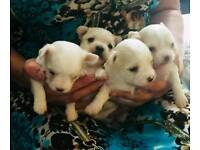 BEAUTIFUL CHI-CHON PUPPYS