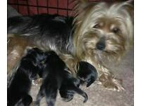 Beautiful yorkie pups for sale
