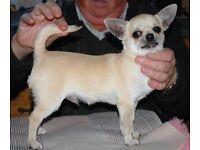 Chihuahua pedigree puppy