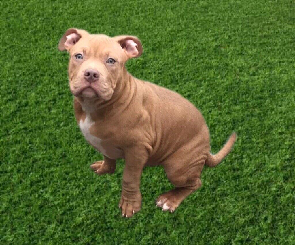 American bully pups | in Washington, Tyne and Wear | Gumtree