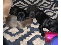 4 beautiful French Bulldog puppies for sale