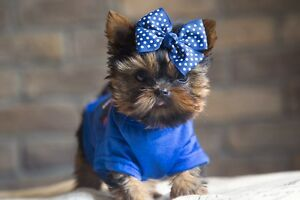 Teacup and micro Doll Face Yorkie Puppies