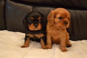 WANTED :- King Charles Cav Mill Park Whittlesea Area Preview