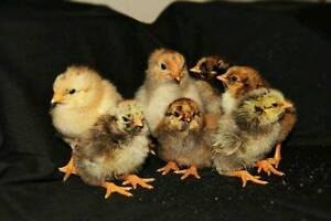 Wynadotte Chicks for sale Beachmere Caboolture Area Preview