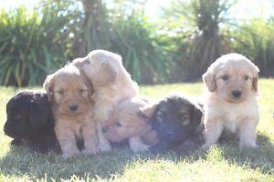 Minature Groodle Puppies Doreen Nillumbik Area Preview