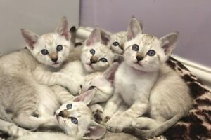 Snow Siamese Kittens!