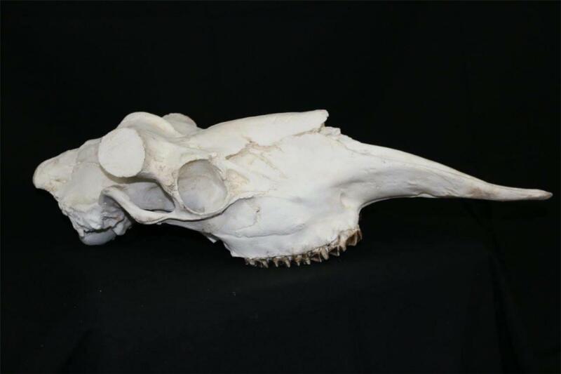 Large moose skull reproduction for shed antlers Horns Deer  Antler Taxidermy