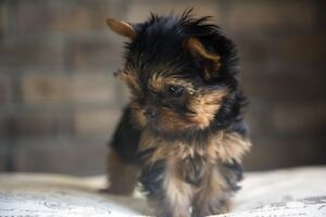 Teacup* Toy* Micro* doll face Yorkie Puppies