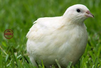 25 James Marie Jumbo Texas Am Coturnix Quail Hatching Eggs For Incubation Npip