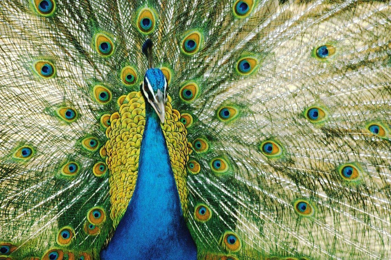 Parsimonious Peacock