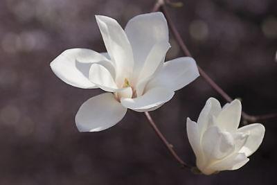 Magnolia Tree (10PCs Magnolia Flower Tree Seeds Rare Yulan Tree Viable Seeds Bonsai Tree Potted)
