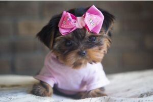 Toy*Teacup*Micro* doll faced yorkie puppies