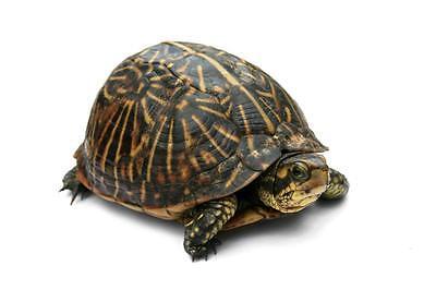 BOX TURTLE GLOSSY POSTER PICTURE PHOTO tortoise florida eastern gulf ninja 1068 - Ninja Turtle Painting