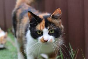 Callie - the most gorgeous cat! Mascot Rockdale Area Preview