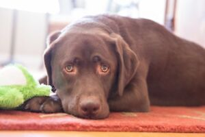 Looking for chocolate lab dog