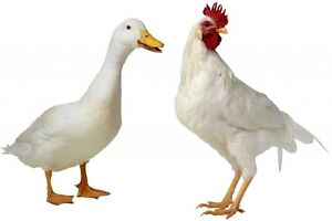 Various breeds of chickens & ducks
