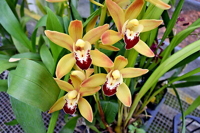 Bin Cymbidium Ming Emperor Warm Growing   Grows Like A Weed Orchid  Fragrant