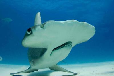 HAMMERHEAD SHARK GLOSSY POSTER PICTURE PHOTO PRINT flat ocean school 4753
