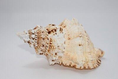 Bursa bubo giant frog shell, 16cm, Muschel, Schnecke /Unikat #J783