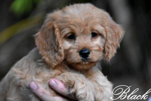 Cavoodle (cavalier x toy poodle)