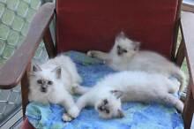 Stunning Birman Kittens East Lismore Lismore Area Preview