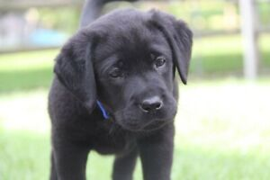 Wanted: Looking for a female Labrador puppy
