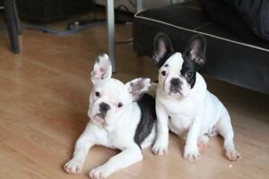 French Bulldog Puppies... Ready For You!