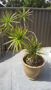 Priced separately, 2 pots with established plants @ $90 each Woodlands Stirling Area Preview