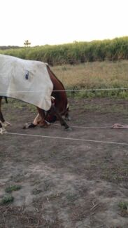 EOI - tb gelding for sale Alligator Creek Mackay Surrounds Preview