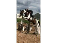 15.2 9yr old dutch warmblood gelding
