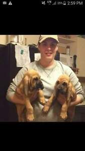 AKC bloodhound puppies parents imported bear hounds