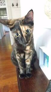 Adopt Yvette 1yr DSH North Ward Townsville City Preview