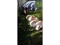 9 week old rabbits - not miniatures! ( 2 left)