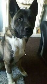 two year old japanise akita for sale