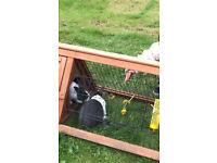 Dutch Rabbits For Sale