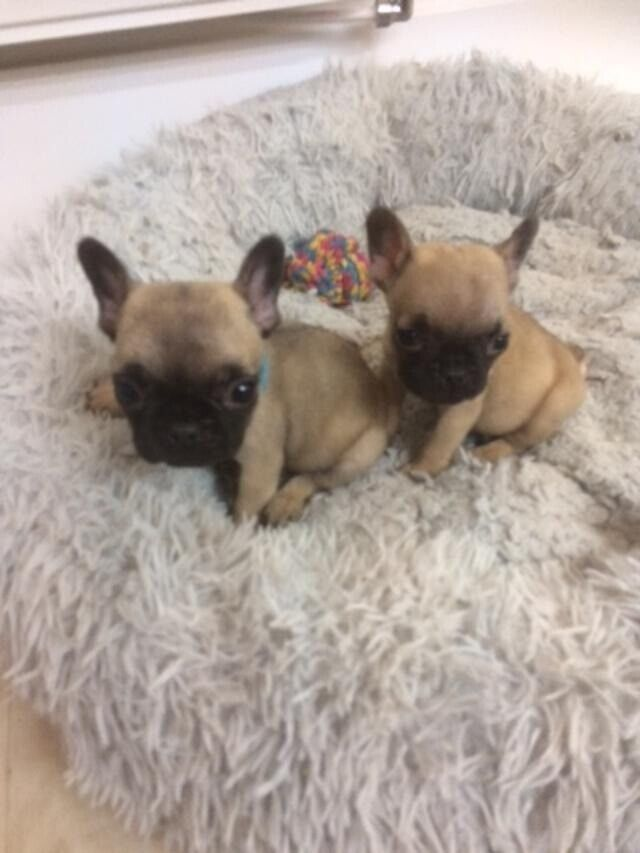 French Bulldog Puppies Blue Fawn Fawn In Exeter Devon Gumtree
