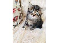 URGENT beautiful kitten