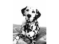 Stunning Dalmatian puppies
